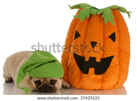 halloween dog - pug laying beside stuffed pumpkin - stock photo