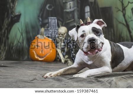 Halloween Dog wearing horns in front of skeleton and jack-o-lantern pumpkin - stock photo