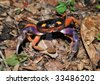 halloween land crab, costa rica 3 - stock photo