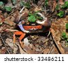halloween land crab, costa rica. multi colored rainbow crustacean with pincers claws defensive in the air - stock photo