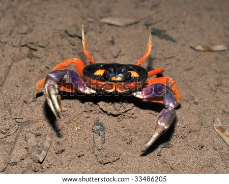 halloween land crab defensive with claws open, guanacaste, costa rica , central america exotic colorful crustacean - stock photo