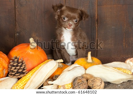 Halloween picture of a three months old chihuahua puppy dog with pumpkins - stock photo