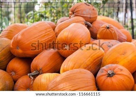 Halloween pumpkin in the garden - stock photo