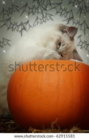 halloween pumpkin kitten - stock photo