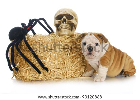 halloween puppy - english bulldog puppy sitting beside bale of straw with skull and spider - stock photo