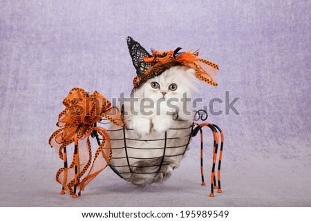 Halloween theme Silver Chinchilla kitten with witches' hat sitting inside metal spider shape basket with decorative bow on light purple background  - stock photo