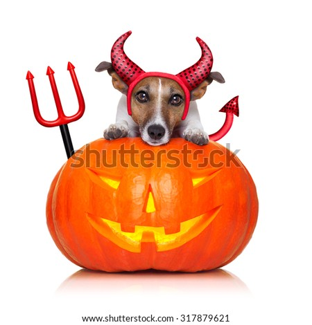 halloween  witch  jack russell dog on a big pumpkin, isolated on white background - stock photo