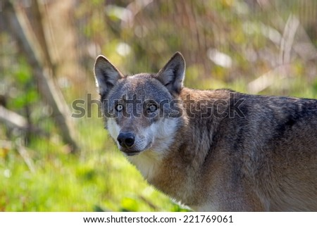 Haltern am See, Germany - October 3, 2014: Naturwildpark Portert of a wolf, Germany