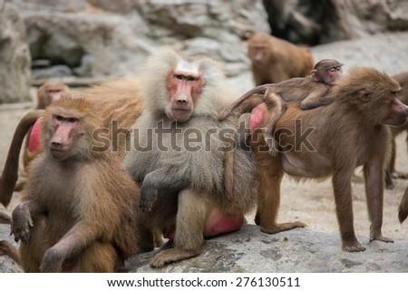 Hamadryas Baboon - stock photo