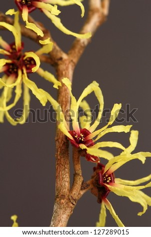 hamamelis mollis - stock photo