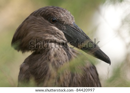 Hamerkop Stork (Scopus umbretta) portrait