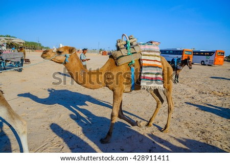 HAMMAMET, TUNISIA - Oct 2014: Dromedary Camel in sahara desert on October 7, 2014 in Hammamet, Tunisia
