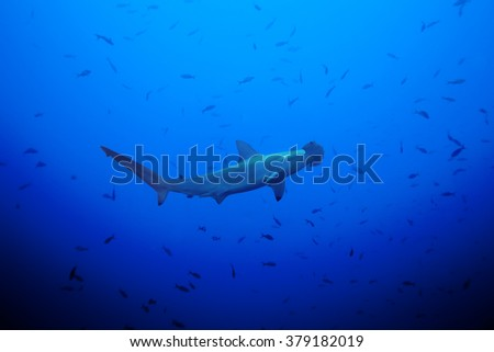 Hammerhead shark in the large school of small fish - stock photo