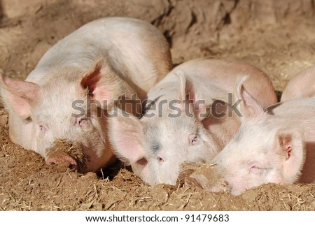 Hampshire pigs - stock photo