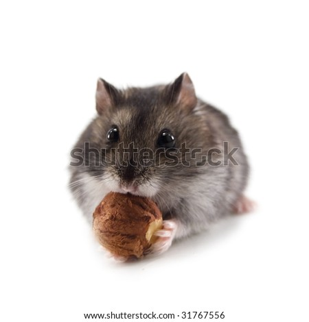hamster and nut isolated on white