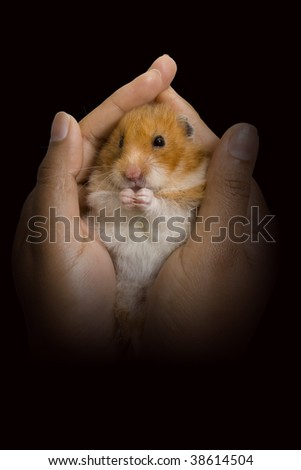 Hamster being held in a woman's hands - stock photo