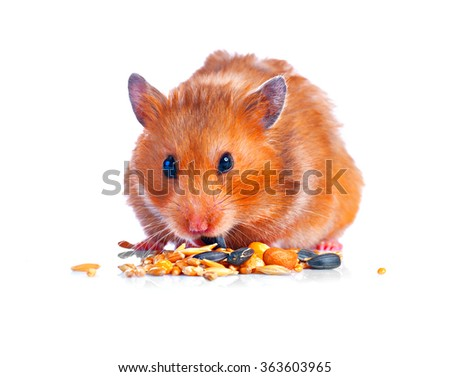 Hamster. Eating little Cute pet isolated on a white background - stock photo