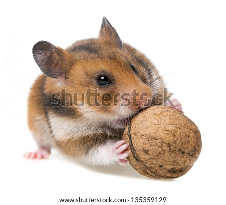 hamster eating nut - isolated on white background