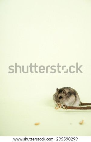 hamster eating pumpkin seed - stock photo