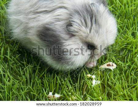 Siberian Husky Quebec Brown Eurasier Dog Rol...