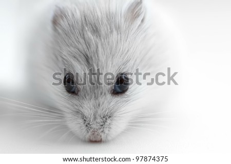 hamster for background - stock photo