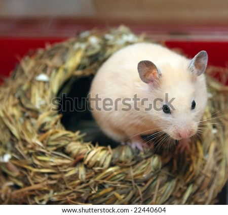 Hamster get out of the nest - stock photo