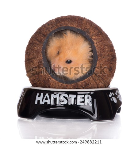 hamster hiding in a coconut house - stock photo
