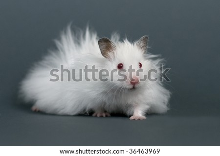 Hamster  in front of a gray background. - stock photo