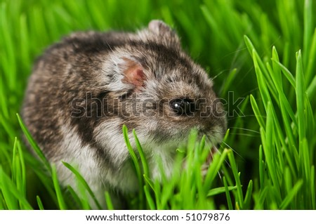 hamster in green grass close up