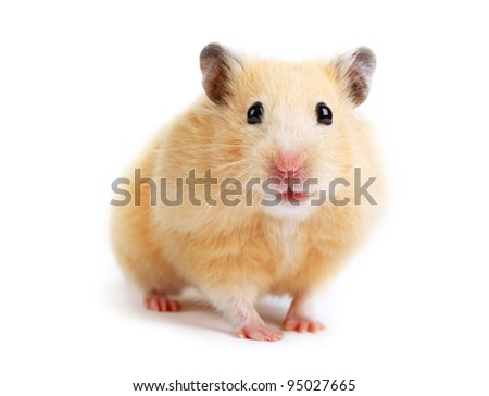 Hamster isolated - stock photo