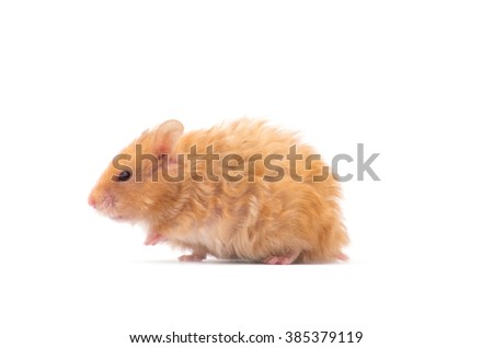 hamster isolated on a white background - stock photo