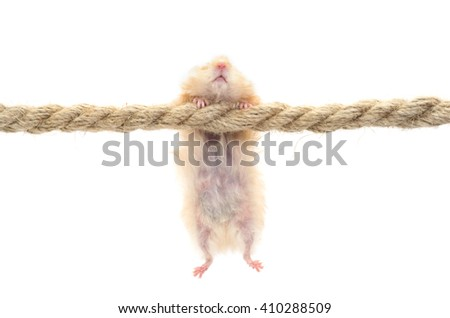 Hamster isolated on white - stock photo