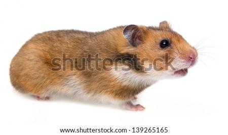 hamster isolated on white background - stock photo