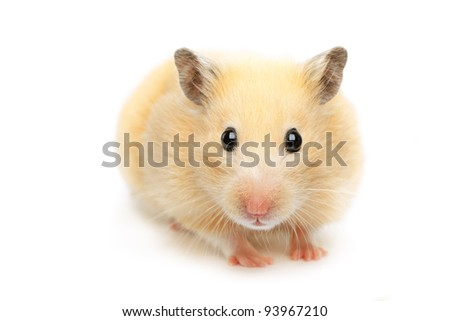 Hamster isolated on white background - stock photo