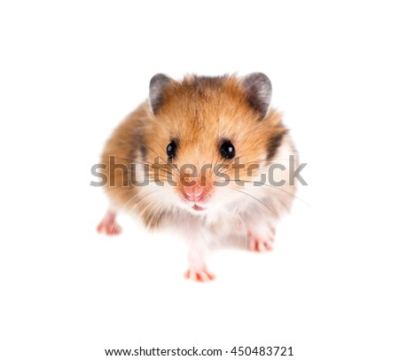 Hamster on a white