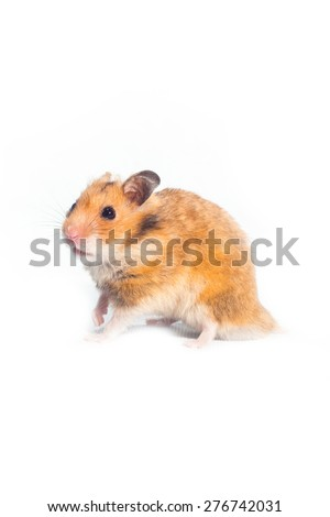 Hamster on a white background. - stock photo