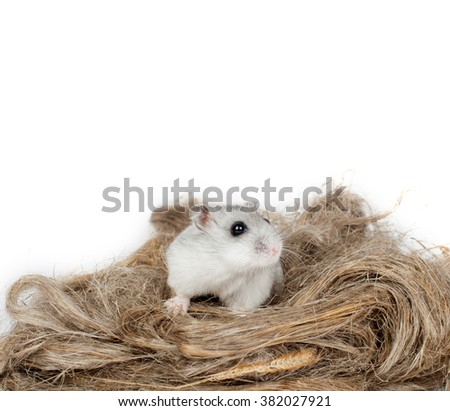 Hamster or mouse nibbles of wheat spikelets on a white background - stock photo