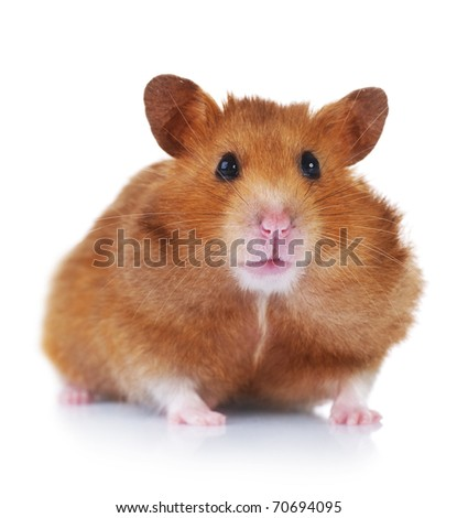 Hamster over white - stock photo