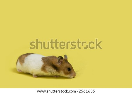 Hamster over yellow