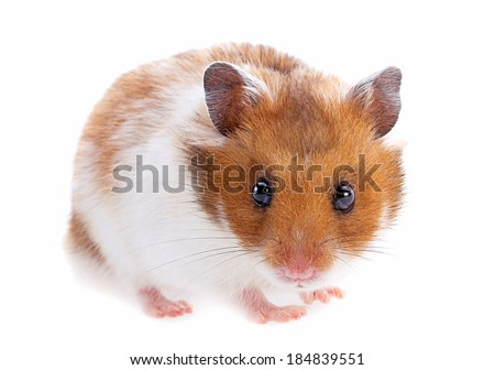 Hamster pet closeup isolated on white on white - stock photo