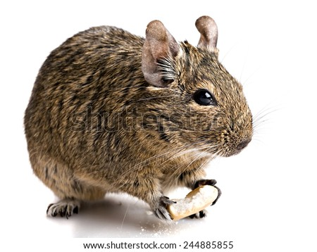hamster rodent chewing bake full-size view isolated on white background - stock photo