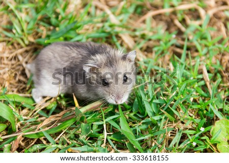 Hamster romp in the grass.