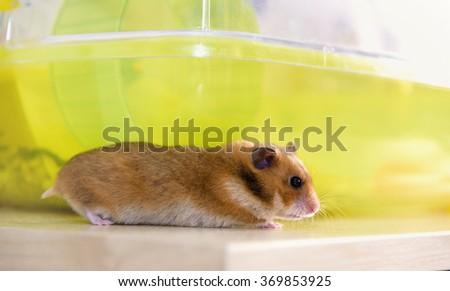 hamster runs near his cage - stock photo
