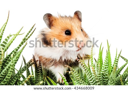 Hamster sitting in the green leaves of cactus on a white background