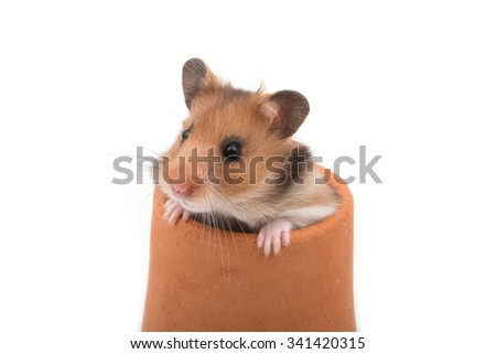 Hamster (Syrian Hamster) in clay pot on white background - stock photo