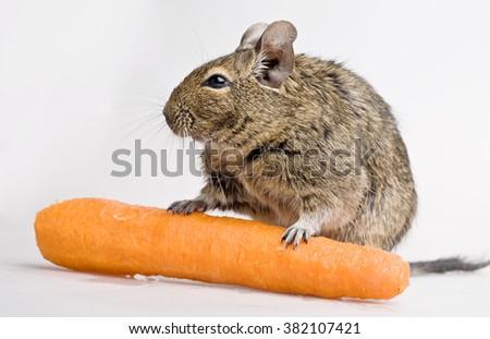 hamster with carrot full-length studio shot on white background - stock photo