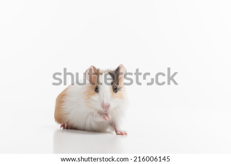 Hamster with lifted pad on white background. white rodent standing and reflecting on floor