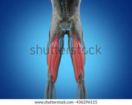 Hamstring Muscle Group Human Anatomy Muscle Stock