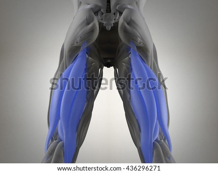 hamstring stock images royaltyfree images  vectors