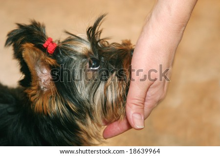 Hand and cute little Yorkshire terrier puppy looking up with fidelity